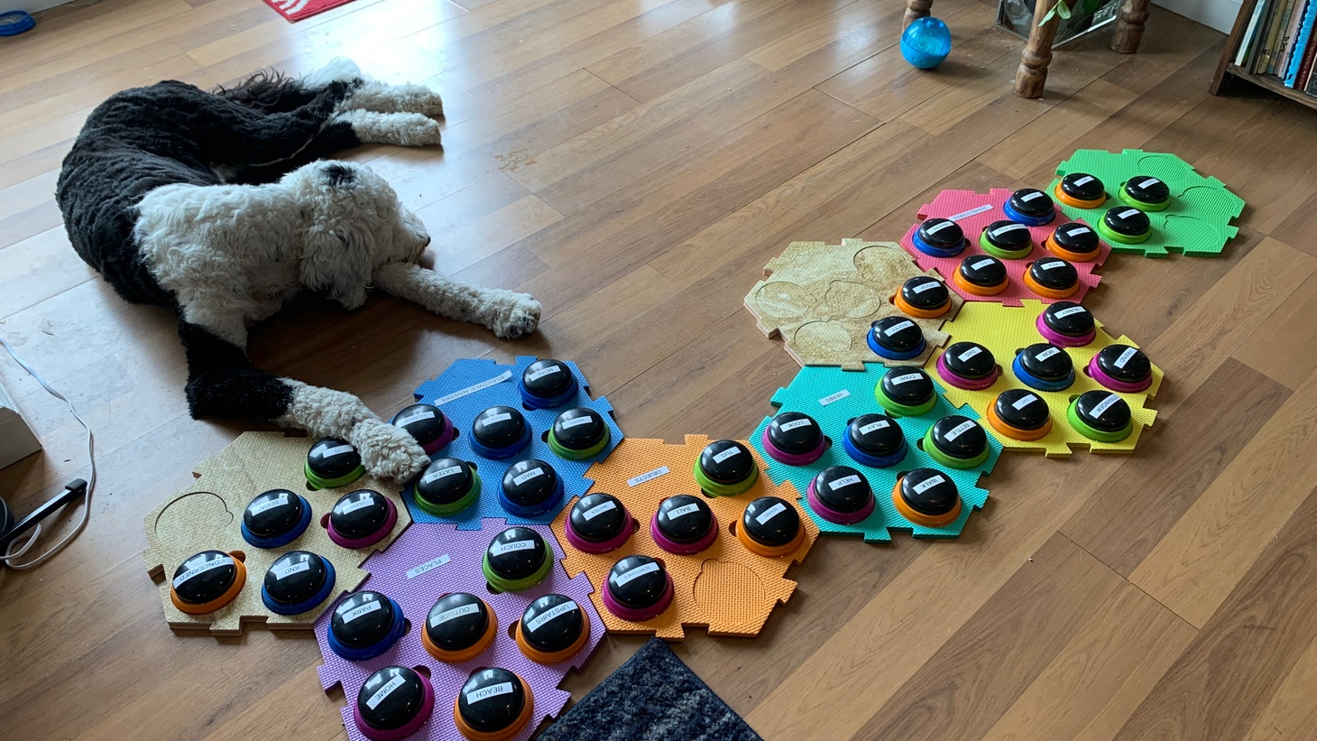 Bunny the sheepadoodle lays near her augmentative and alternative communication (AAC) board.