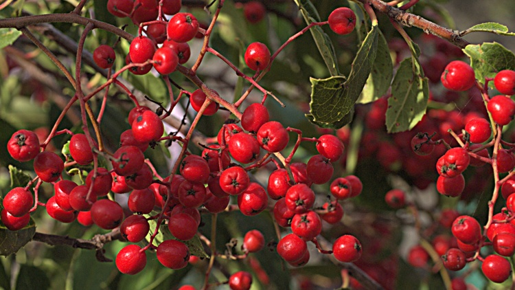 The holly, with its prickly green leaves and bright red berries, is often used as decoration this time of year.