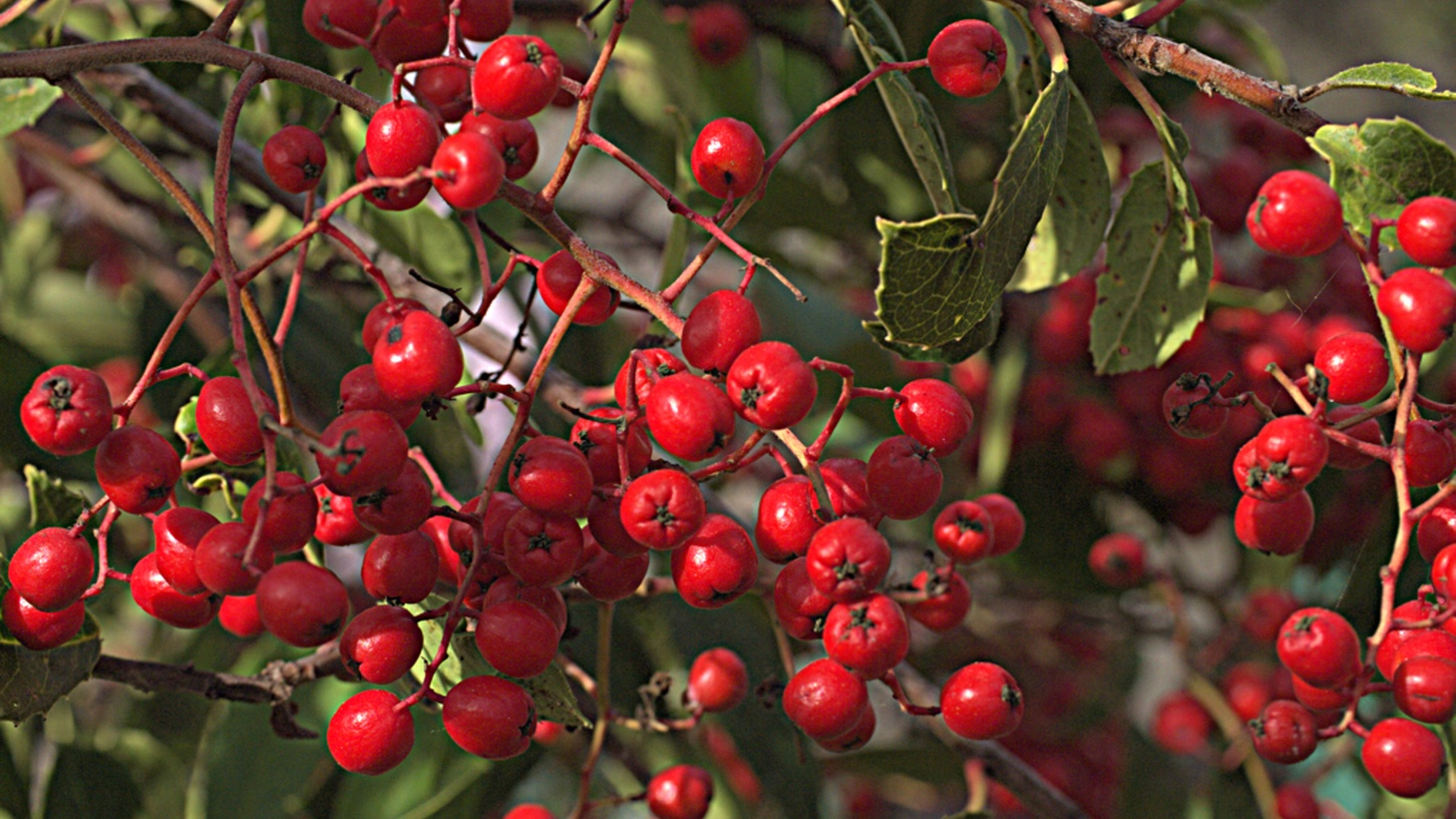 """Toyon is actually very edible, and it has been eaten by native folks up and down California,"" says Lila Higgins from the Natural History Museum of Los Angeles County."