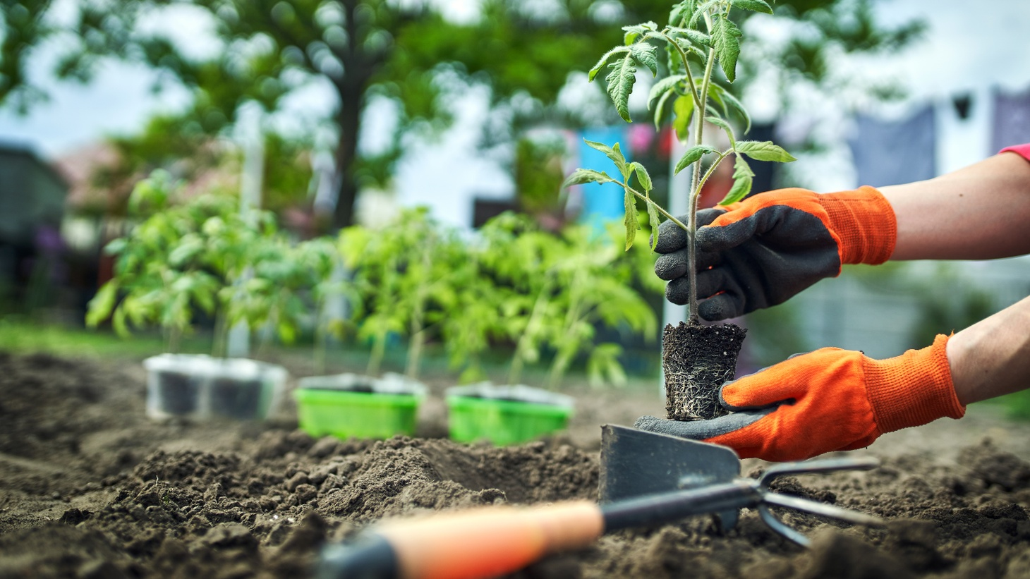 A person plants tomato seedlings in an organic garden.
