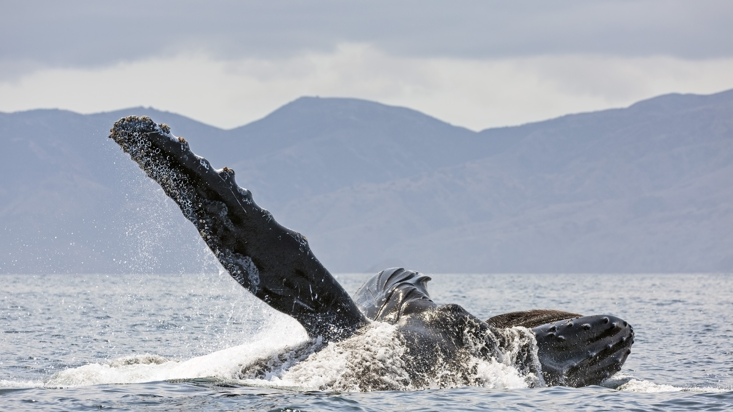 A humpback whale is lunge-feeding in Channel Islands National Park, Santa Barbara.