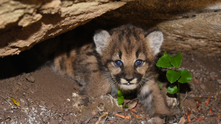 Mountain lions now roam the hills surrounding Los Angeles.
