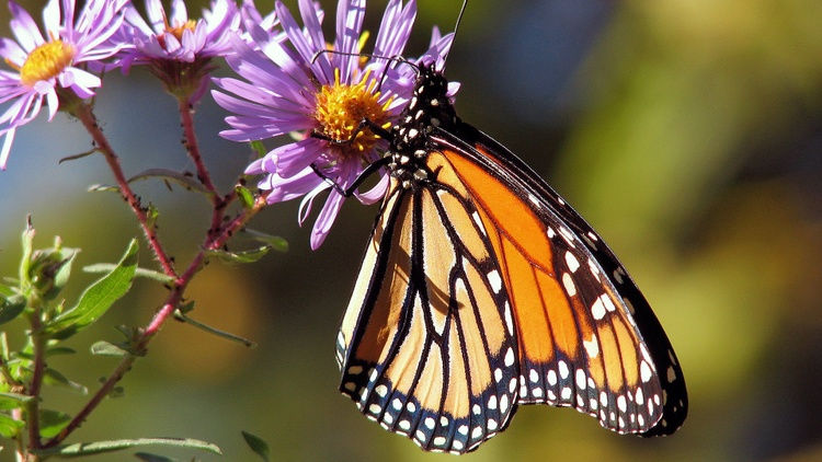 Monarch butterflies are among the best known types of butterflies in North America. But the population has suffered recently, especially in California.