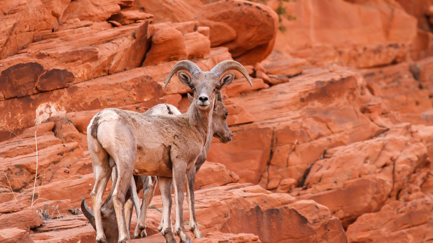 Bighorn sheep are spotted on red rocks in the Mojave Desert.