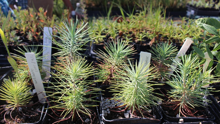The Santa Ynez Band of Chumash is cultivating native plant species in its nursery — as a way to preserve its indigenous culture.