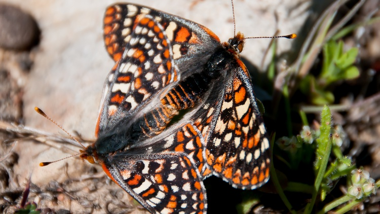 There are 18 endangered butterfly and moth species that the San Diego Zoo Wildlife Alliance works to protect.