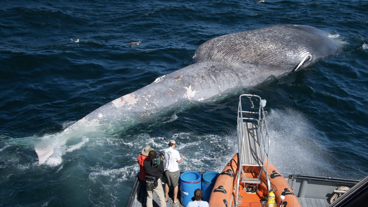Researchers examine a dead blue whale that was struck by a ship.