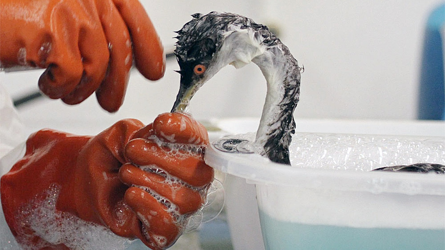 Wildlife experts wash oil from a bird in 2019.