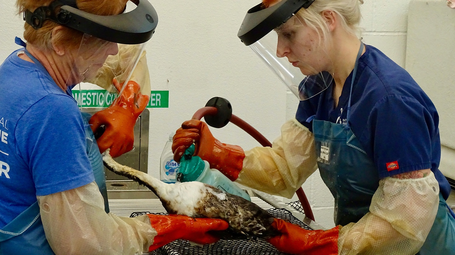 Workers in 2018 remove oil from a wild bird.