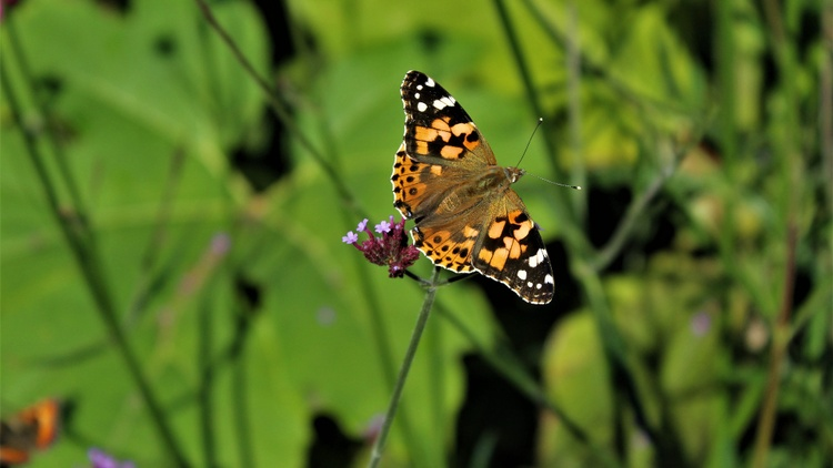 Painted lady butterflies are now flying from Mexico across Los Angeles, heading to the northern states and Canada.