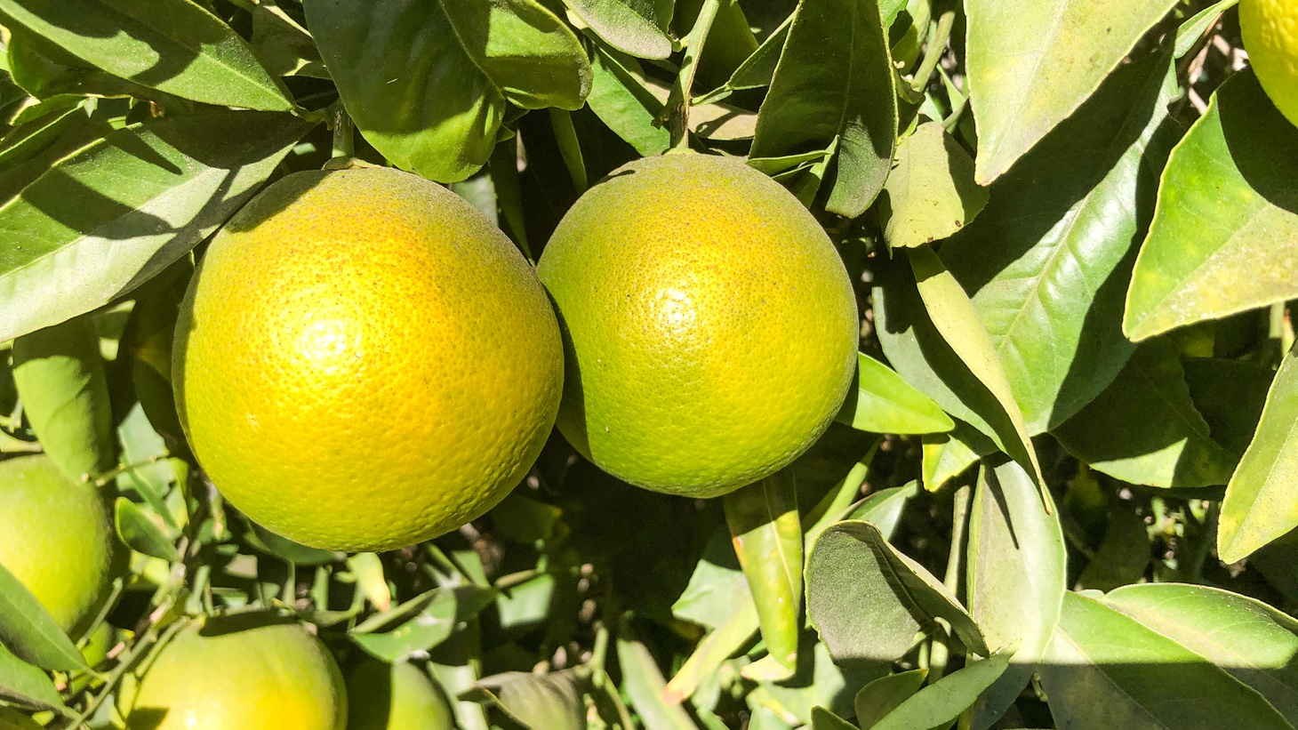 Oranges at Bothwell Ranch are still green in the late fall.