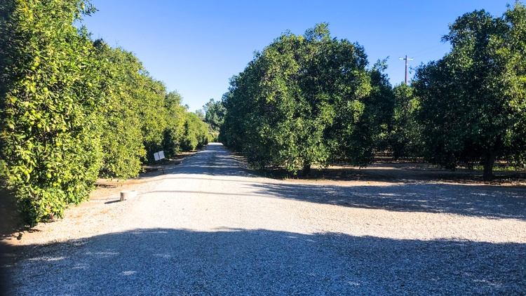 The number of orange groves in LA is shrinking, and the sole remaining one in the San Fernando Valley is on the way out.