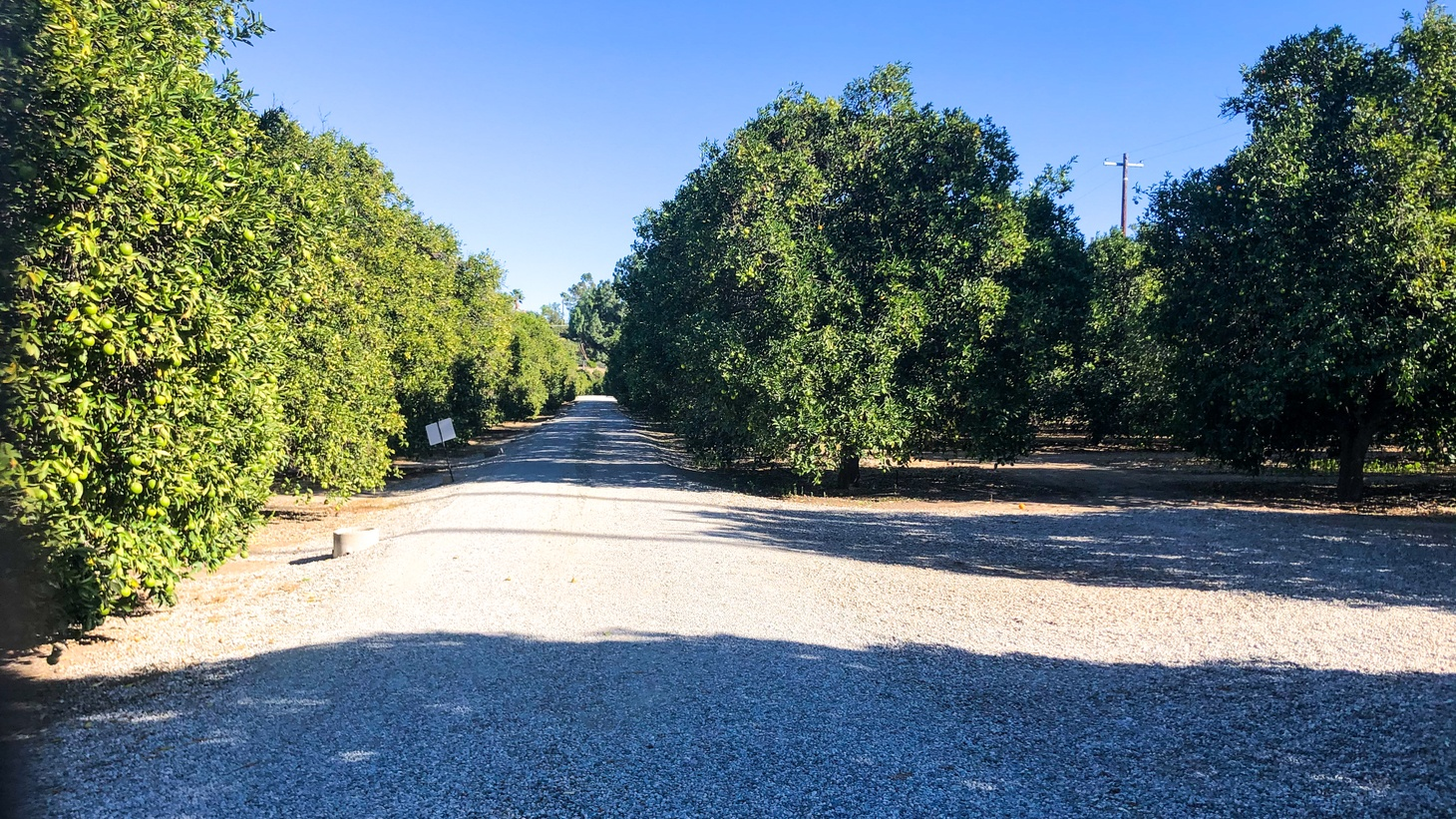The neat rows of 2,000 orange trees are visible from the entrance to Bothwell Ranch.