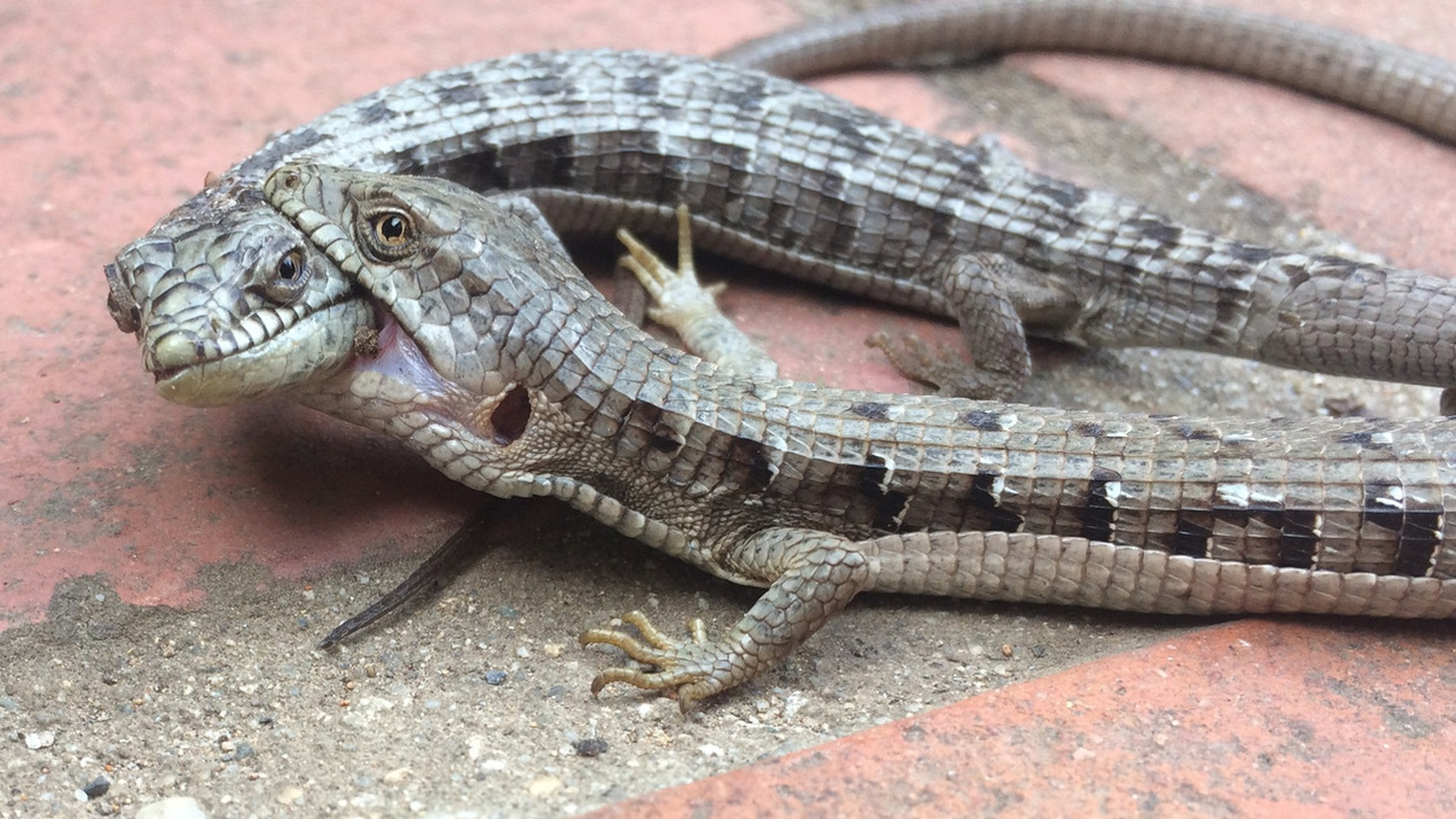 Mary Stein found these alligator lizards in a backyard in the town of Avalon on Catalina Island. When first found, there was a second male trying to interrupt these two but he wandered off.