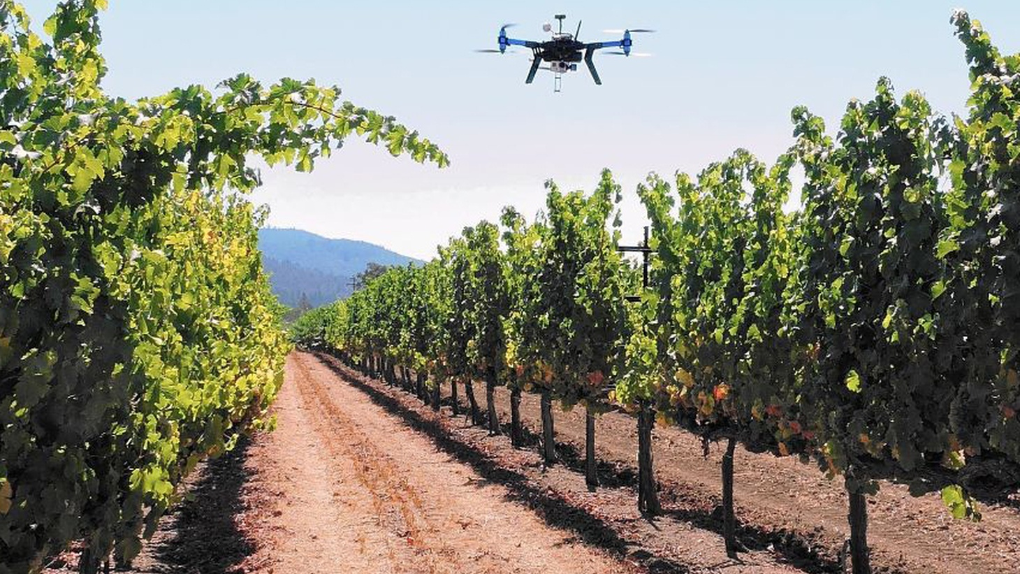 What are drones doing flying over vineyards, and why are they playing hawk noises?