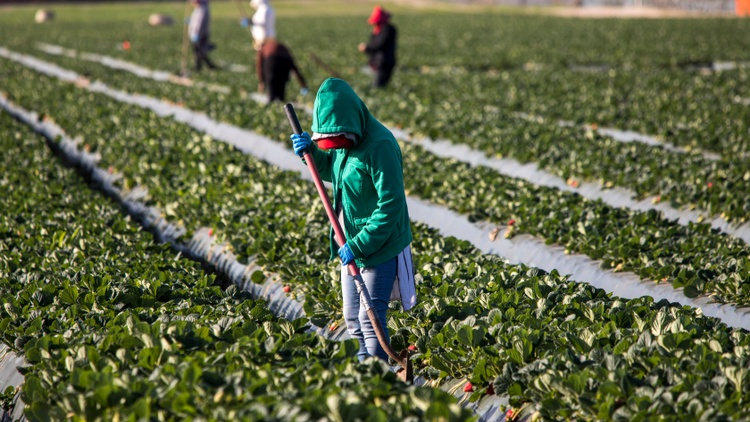 """""""When I started doing this a few decades ago, everything was about pesticides. Heat wasn't even on the radar. Now that's completely reversed,"""" explains Dr. Marc Schenker of UC Davis."""