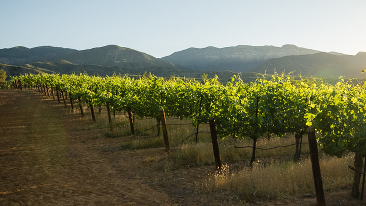 The Ojai Vineyard promised great things for wine growing in the Ojai Valley when it was founded in 1983. But a grape virus called Pierce's disease soon began ravaging the region's vines.