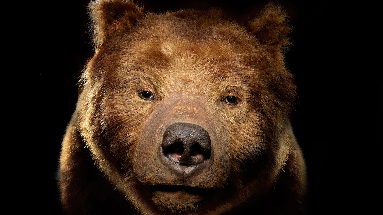Today's North American grizzly bears are mostly found in the remote mountains of Montana, Wyoming, and Alaska, but back in the 1800s, coastal California was prime grizzly country.
