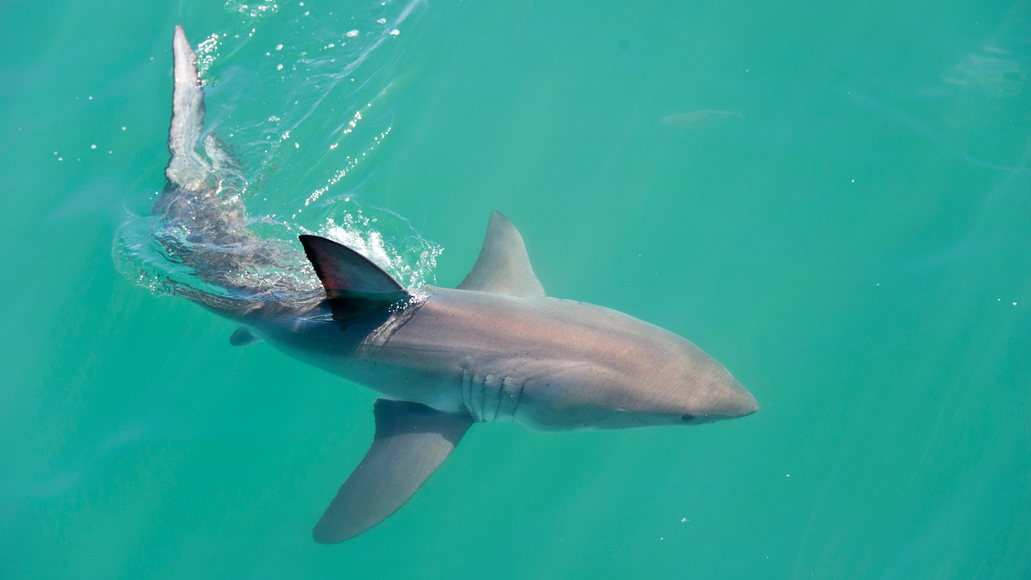 Young white sharks are the ones using SoCal beaches more frequently this summer, says Chris Lowe.