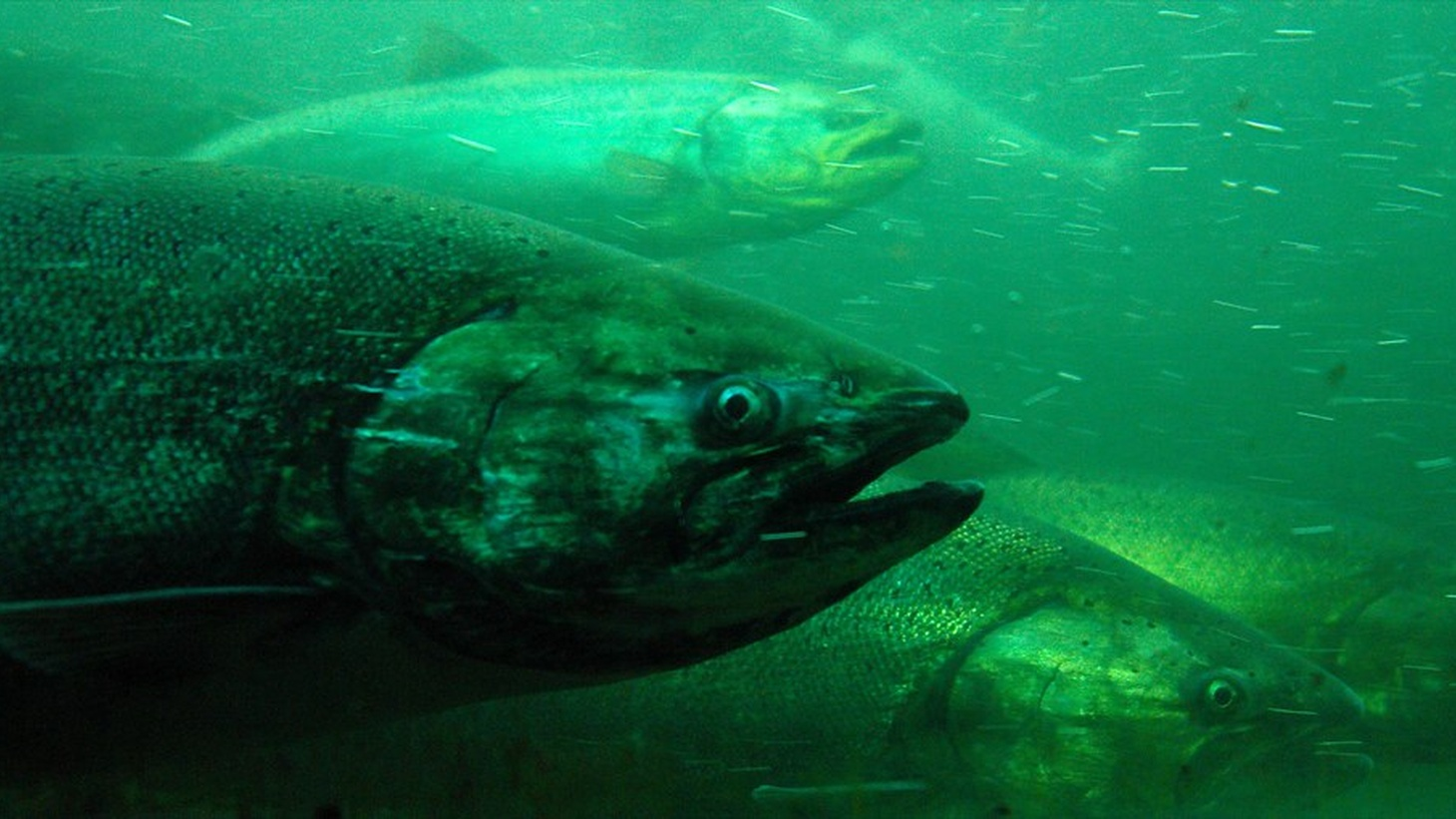 Chinook salmon in the fish ladder at the Hiram M Chittenden Locks.