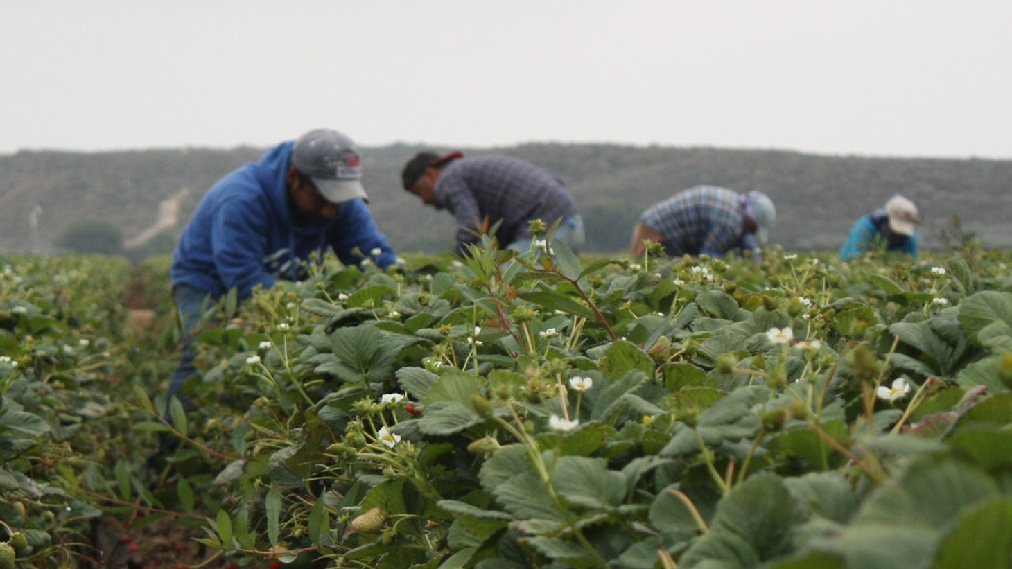 Five days after the inauguration of President Donald Trump, KCRW airs a special live broadcast from Oxnard about what the Trump Administration's immigration policies might mean for undocumented farmworkers in California, with a focus on the strawberry fields and citrus groves of Ventura County.  Hosted by Jonathan Bastian.