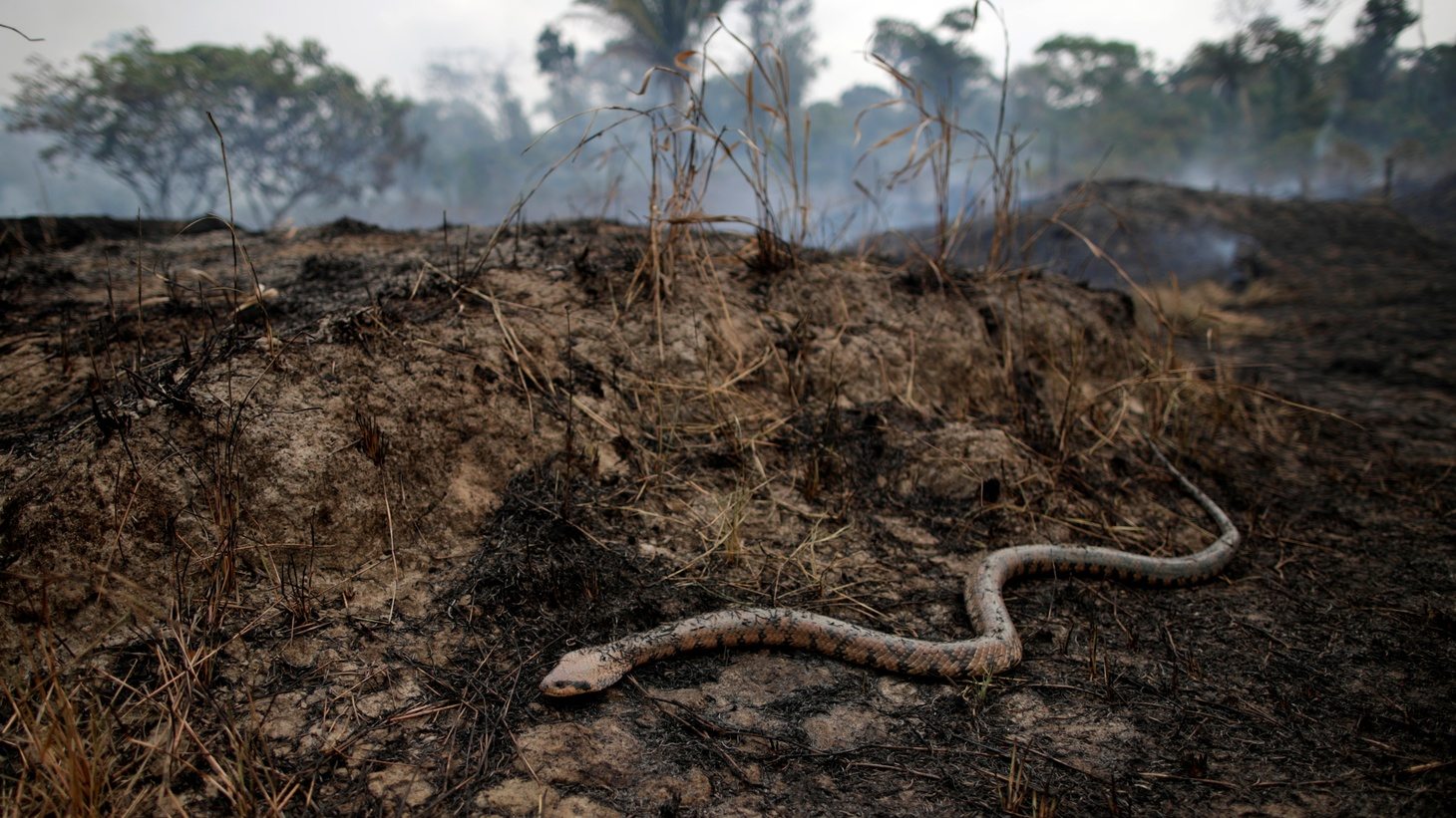 A snake is seen while a tract of the Amazon jungle burns as it is cleared by loggers and farmers in Porto Velho, Brazil. August 24, 2019.