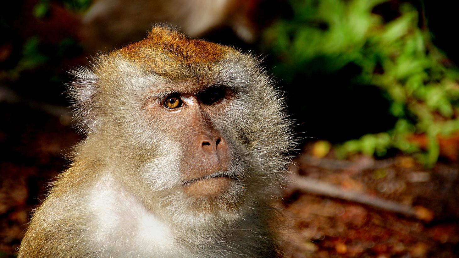 Macaque Monkey.