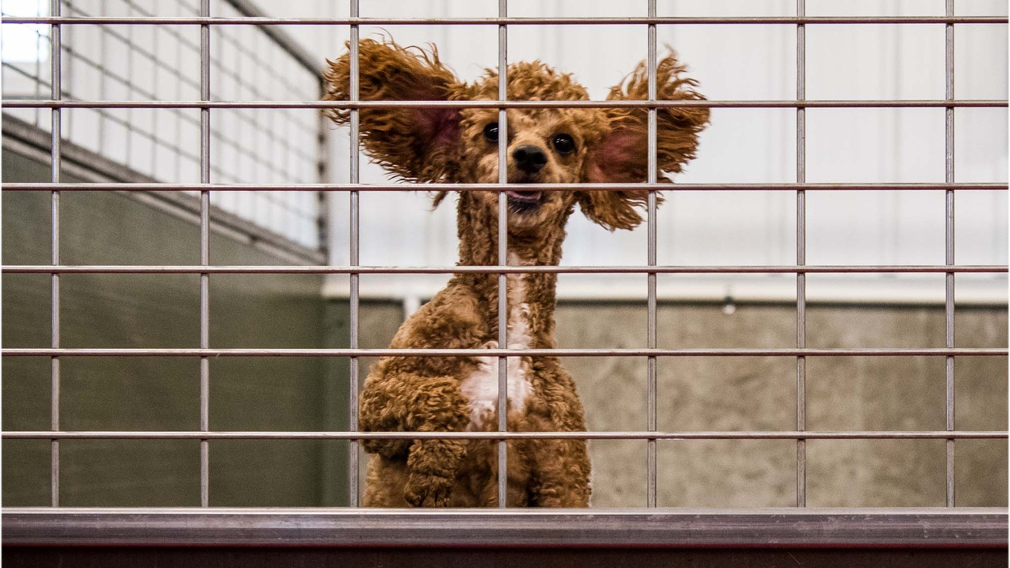 Dog rescue groups have long denounced commercial breeders for mistreating animals.
