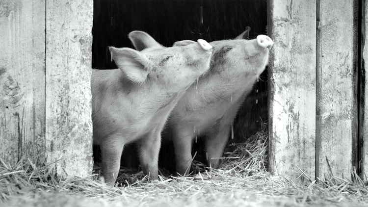 """Critics review """"Monday,"""" about two Americans who meet in Athens, Greece and enjoy a passionate vacation romance; """"Gunda,"""" a black-and-white film about a pig who recently gave birth to…"""