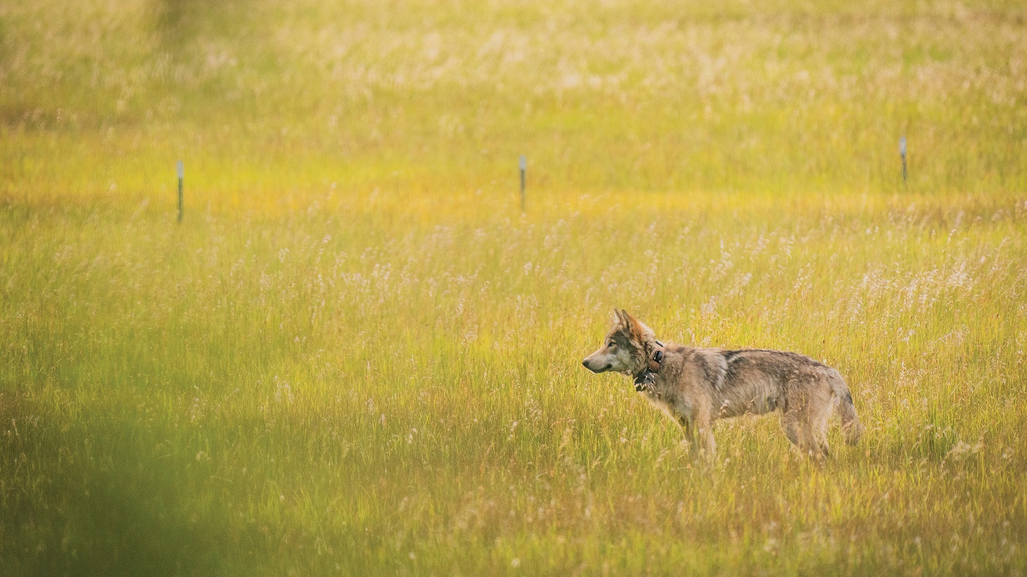 A young male in Lassen County, California, wears a collar that transmits his location. He was in a litter of four pups born in the area in 2019.