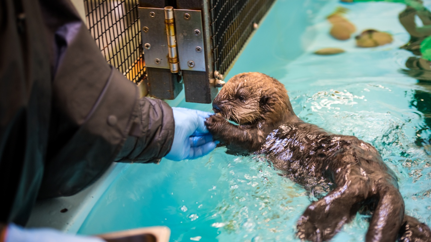 Southern sea otter pup 719 behind the scenes with Sea Otter Program staff.