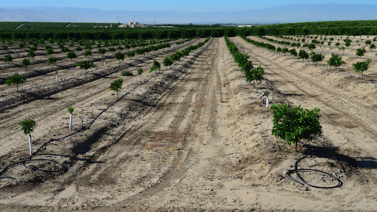 Almond trees on a San Joaquin Valley farm are watered with a drip irrigation system during drought in California.