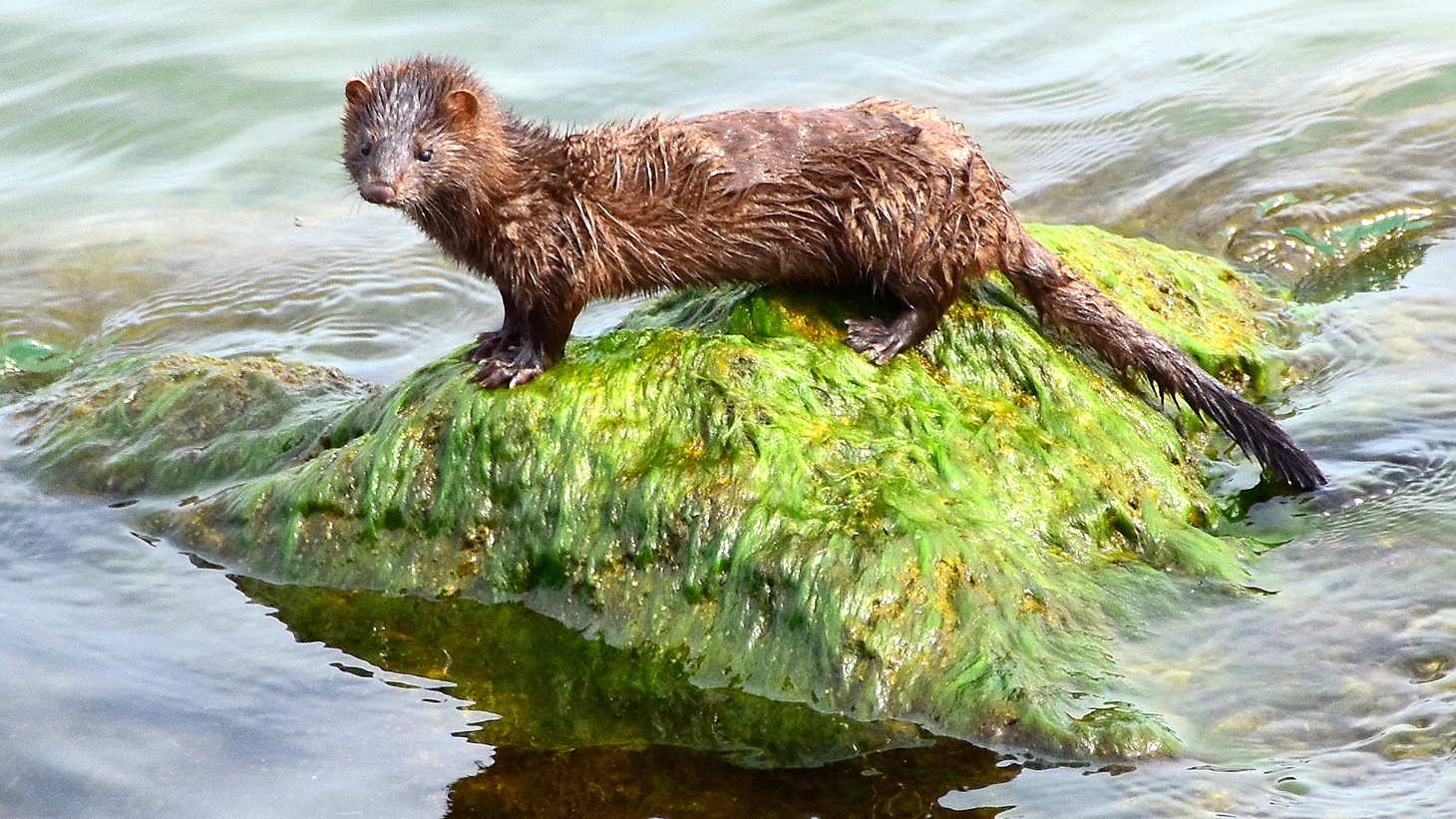 Minks are susceptible to COVID-19. This week, the U.S. Department of Agriculture reported a positive case found in a wild mink in Utah.