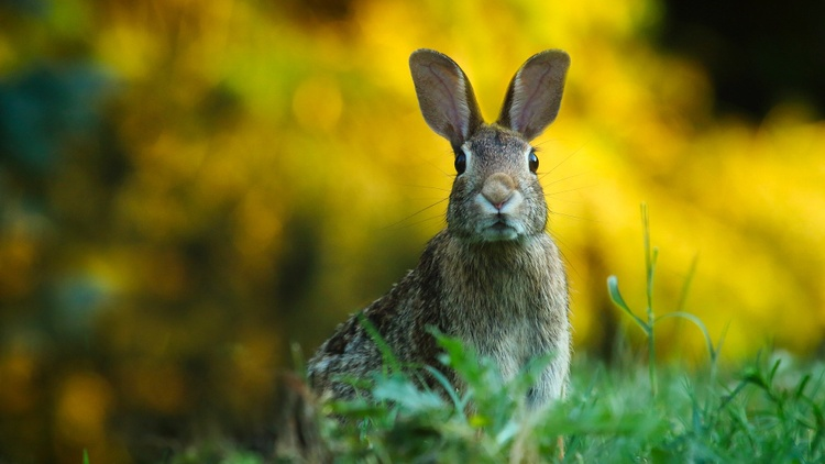Rabbits in Europe, Asia, and Australia have succumbed to rabbit hemorrhagic disease (RHD). Millions have died. Now RHD is spreading in the U.S.
