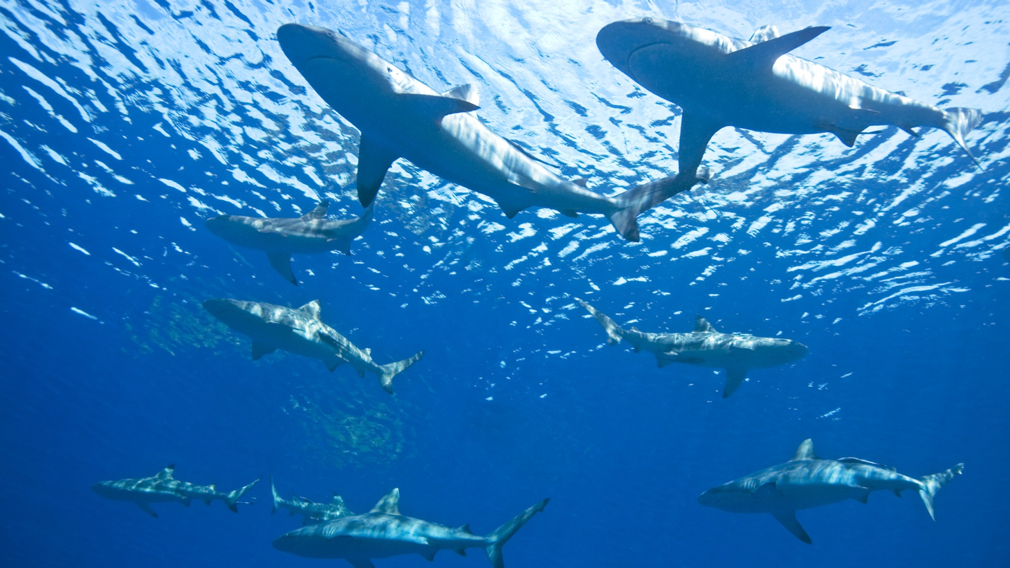Thanks to new tracking technology, scientists observed that some shark species use the buddy system for weeks.