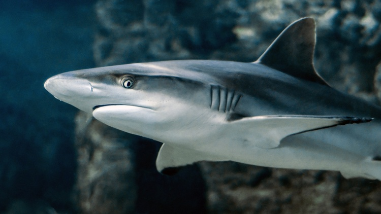 This year, researchers with the Cal State Long Beach Shark Lab tagged three times as many sharks as last year, even with fewer marine biologists in the field because of COVID safety…
