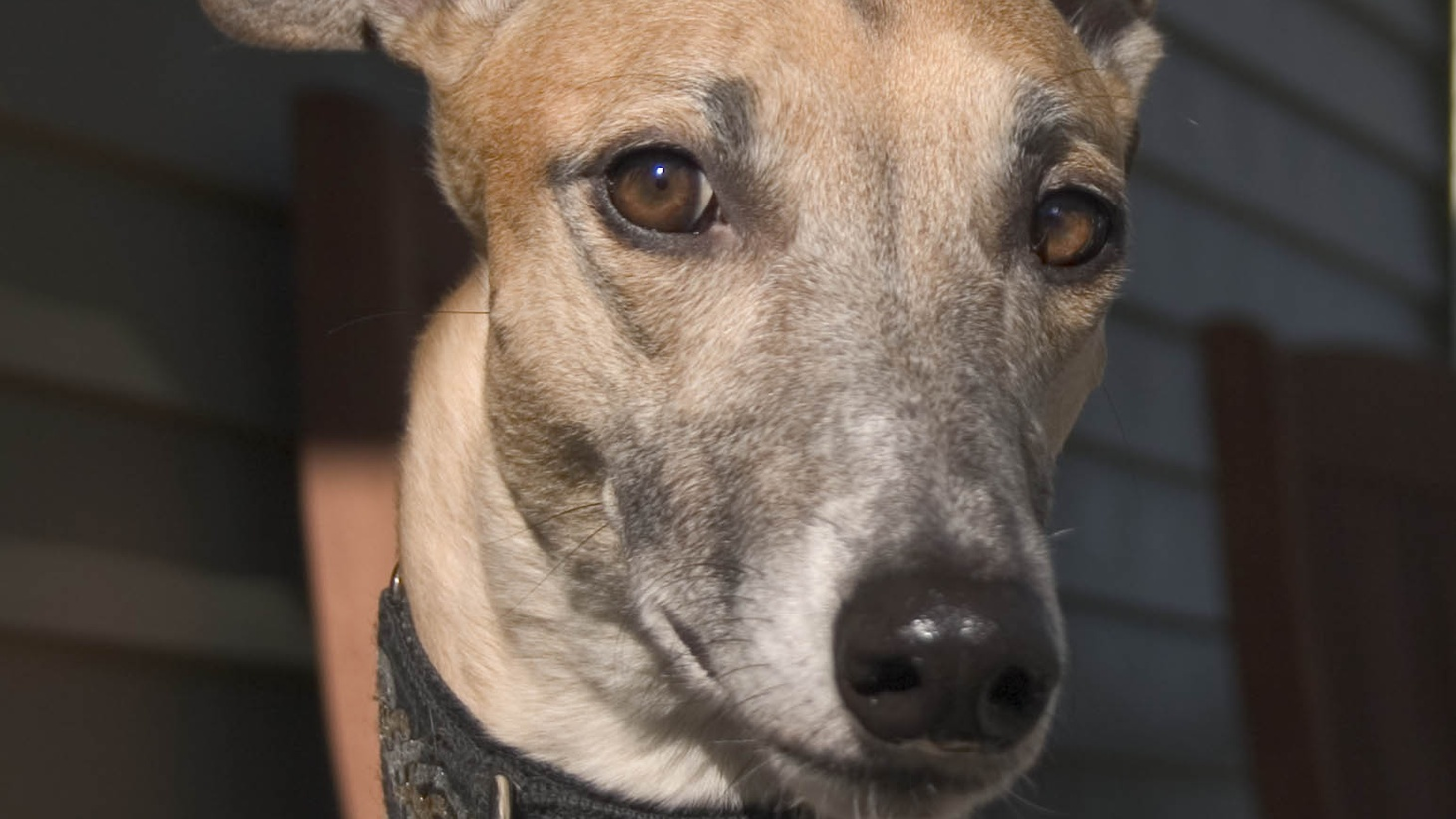 At the Garden Grove blood bank, greyhounds are shipped in from other states.