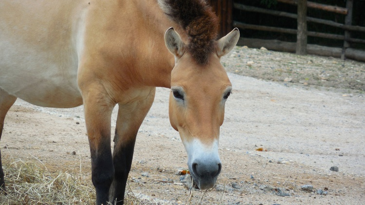Przewalski horses, wild horses that are native to central Asia, are critically endangered. Only 2000 of them remain.