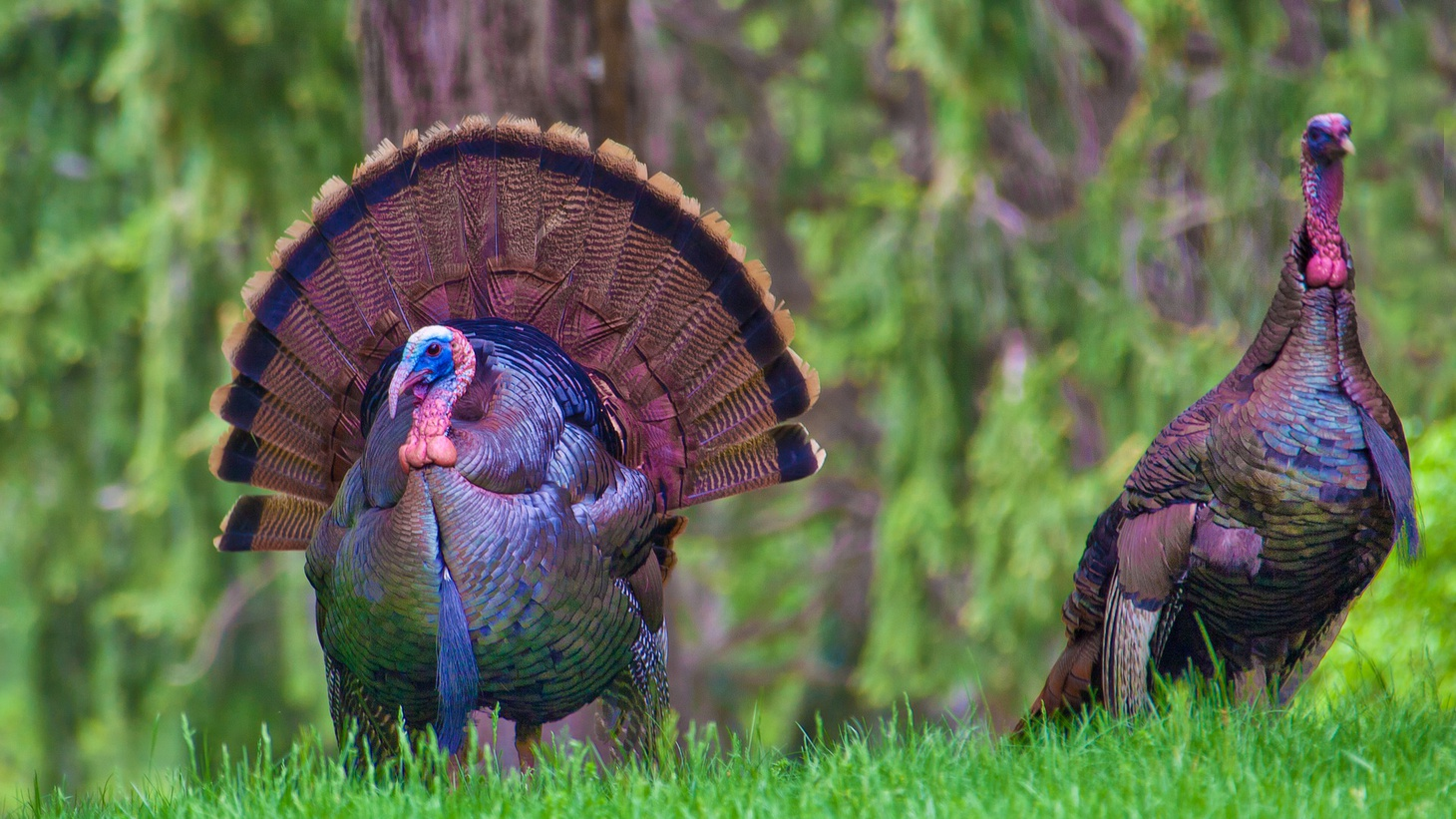 A 16-18 pound turkey is usually desired for a traditional Thanksgiving, but with people gathering only with family members this holiday, they'll want a smaller bird. Farmers are saying they may not have enough small birds, and they have too many big birds. That's all according to food business reporter Laura Reiley.