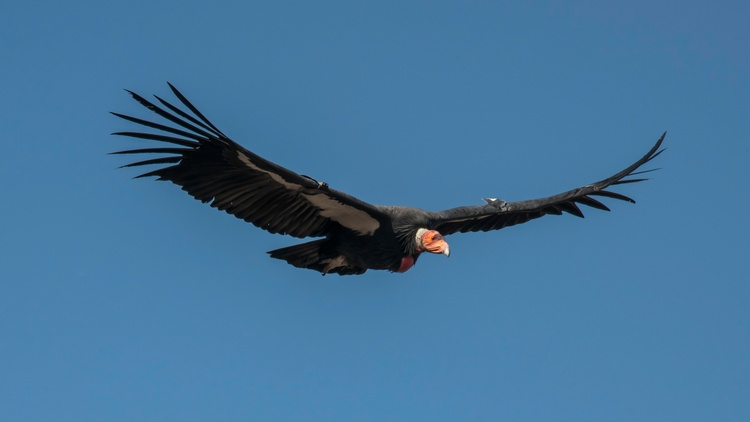 The majestic California condor is the largest bird in North America. It's also one of the most endangered species in nature.