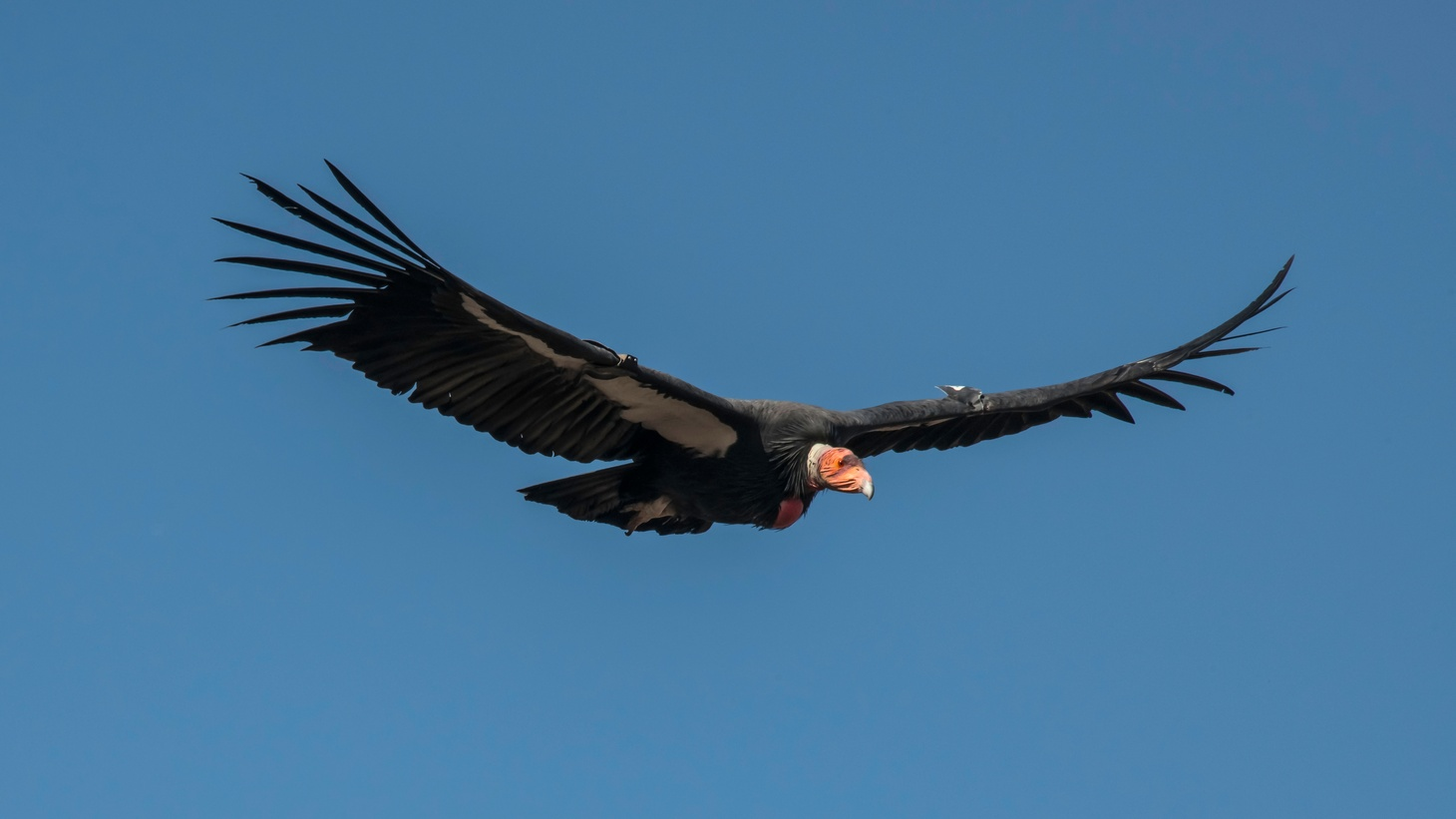 The California condor is the largest bird in North America. A flock of them invaded the home of a woman who lives in the Tehachapi Mountains.