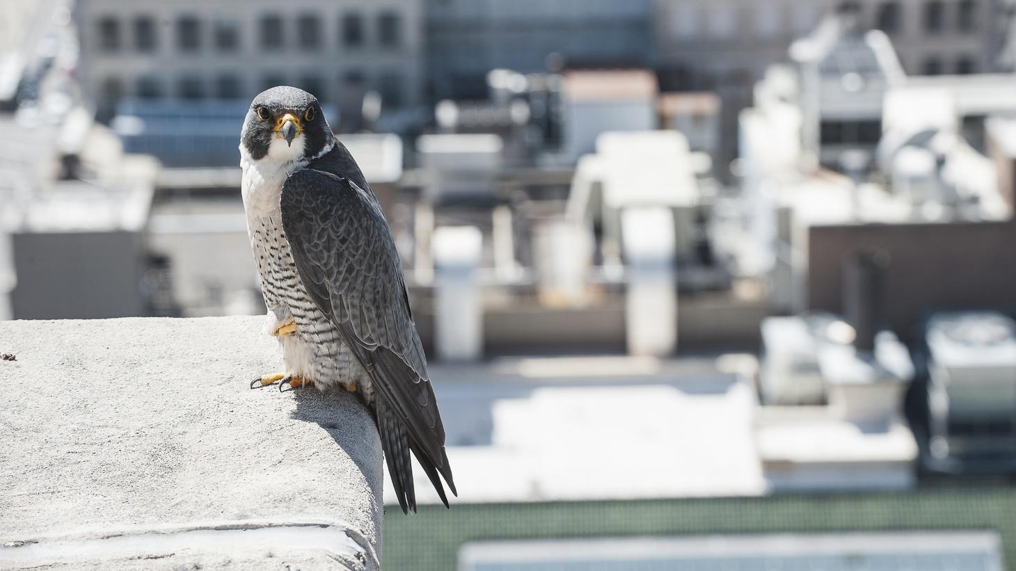 A peregrine falcon in the city.