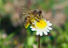 How bees play a crucial role in our food chain