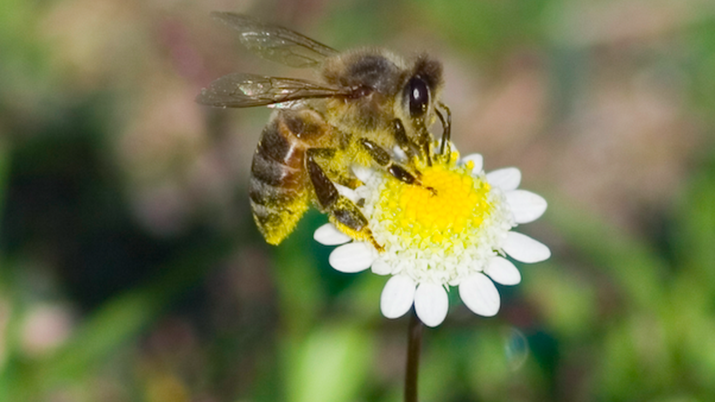 Much of the food we eat -- fruit, vegetables, nuts -- are all pollinated by bees. But bees are dying, and their hives are disappearing. Bees now have to be sent around the country to pollinate crops.