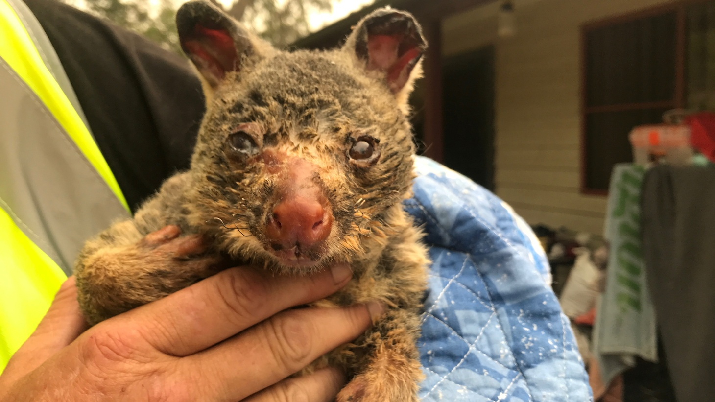 Wildlife Information, Rescue and Education Services (WIRES) volunteer and carer Tracy Burgess holds a severely burnt brushtail possum rescued from fires near Australia's Blue Mountains, December 29, 2019.