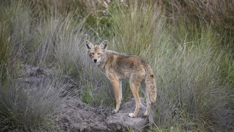 Most Angelenos are familiar with what coyotes look like: large ears, black noses, greyish and rust-colored fur, and yellow eyes.