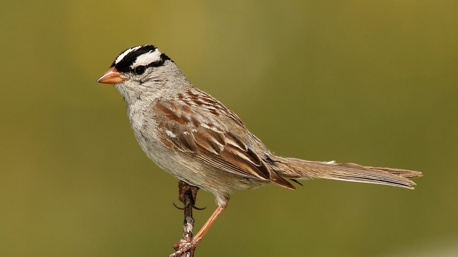 The song of the white-crowned sparrow in San Francisco has gotten more appealing during the pandemic, researchers say.