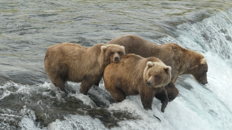 During this Fat Bear Week , ursine enthusiasts worldwide set their sights on Alaska's Katmai National Park and Preserve for an annual competition to find the fattest bear in the park.