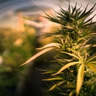 CA's illicit weed market still thrives. New state agency aims to help legal sellers and growers