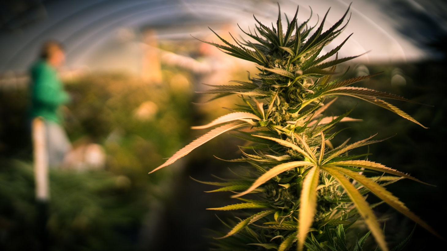 About 82% of California's cannabis businesses are currently operating under temporary licenses, according to Nicole Elliott, the director of the California Department of Cannabis Control.